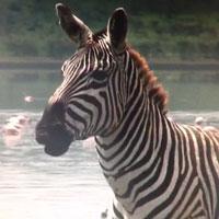 2 Chainz Zebra